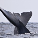 Blue whale - © Photo: Sea Colors Expeditions
