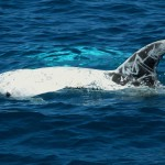 Risso's dolphins - © Photo: Sea Colors Expeditions