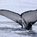 Humpback whale - © Photo: Sea Colors Expedtions