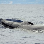 Fin whale - © Photo: Sea  Colors Expeditions