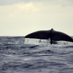 Sperm whale - © Photo: Sea Colors Expeditions