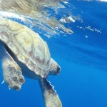 Loggerhead turtle - © Photo: Sea Colors Expeditions