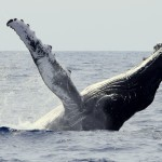 Humpback whale - © Photo: Sea Colors Expeditions
