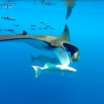 Manta ray - © Photo: Sea Colors Expeditions